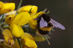 http://temp_thoughts_resize.s3.amazonaws.com/c1/9630f0de2511e5afdec758dcd4eb73/Bumble-bee-on-gorse-1a.jpg